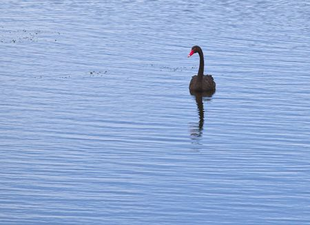 a black swan in Australia Stock Photo - 6559530