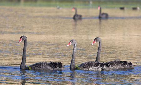some black swan in Australia Stock Photo - 6559535
