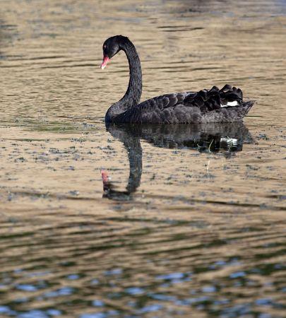 a black swan in Australia