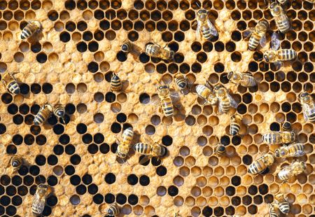 A photography of beautiful little bees in early spring time Stock Photo - 6688610