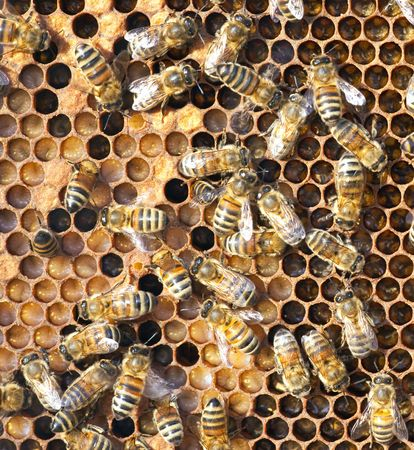 A photography of beautiful little bees in early spring time Stock Photo - 6688631