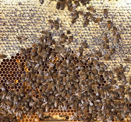 A photography of beautiful little bees in early spring time Stock Photo - 6688635