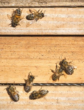 A photography of beautiful little bees in early spring time Stock Photo - 6688611