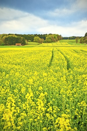 A yellow raps field in Bavaria Germany Stock Photo - 6913716