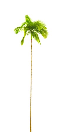 A curved isolated palm tree photo