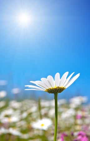 An image of a beautiful marguerite background photo