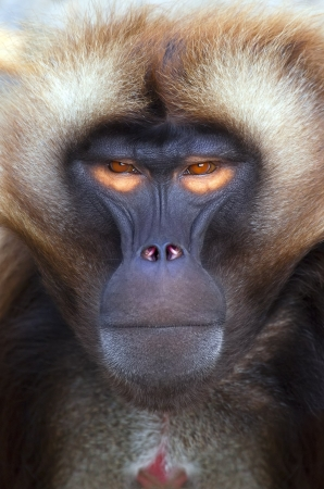 primates: An portrait of a nice ape with orange eyes Stock Photo