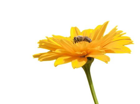 An image of a sharp bee in a yellow flower photo
