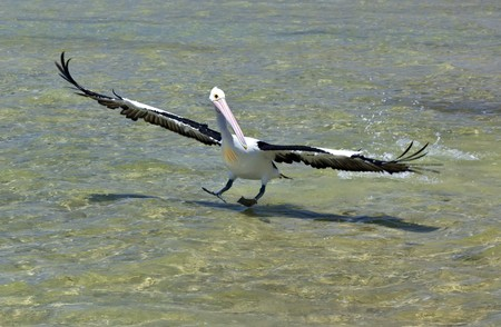 An image of a nice pelican in action Stock Photo - 7610804