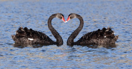swimming bird: some black swan at the lake in Tasmania