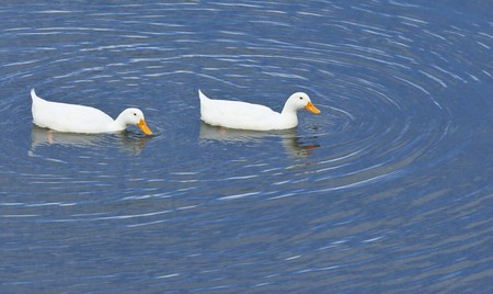 An image of a white duck couple Stock Photo - 7697010