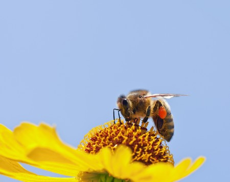 abeja: Una imagen de una hermosa abeja poco sobre una flor amarilla