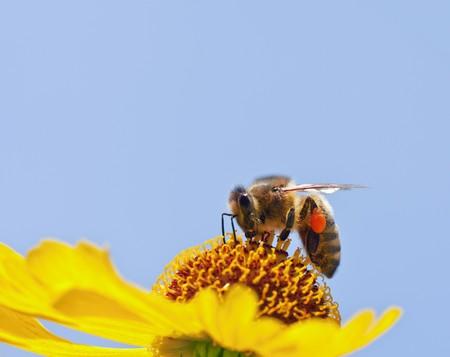 miel et abeilles: Une image d'une belle abeille peu sur une fleur jaune