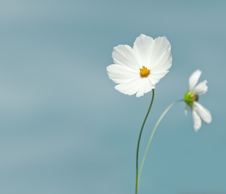 An image of a nice cosmea with space for text photo