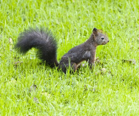 An image of a young squirrel in the wet grass photo