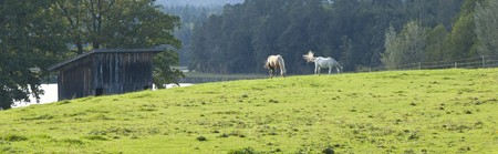 An image of two horses eating grass photo