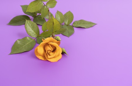 An image of a nice yellow rose on purple background photo