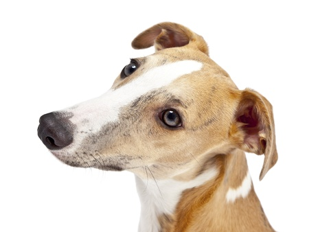 An image of a beautiful whippet dog on white background photo
