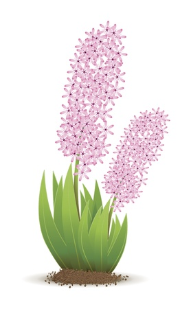 An image of a beautiful pink hyacinth Stock Photo - 8775135