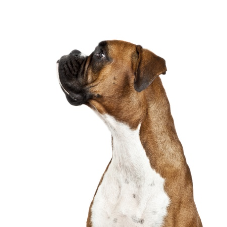 watchdog: An image of a dog German Boxer