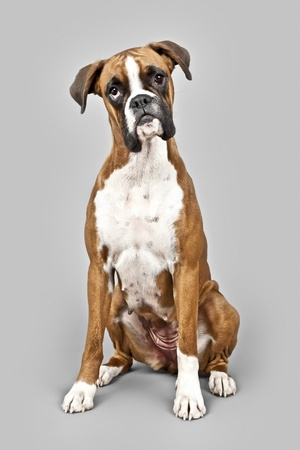boxer dog: An image of a dog German Boxer