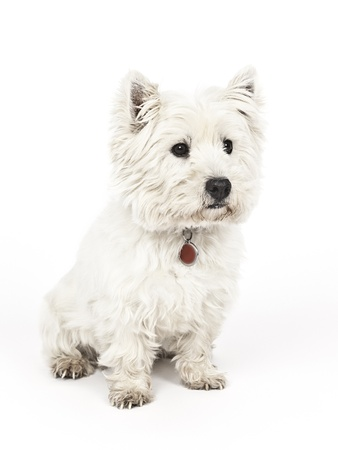 highland: An image of a nice white Terrier