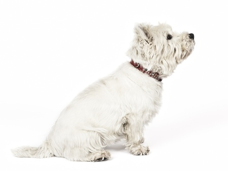 An image of a nice white Terrier photo