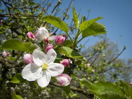An image of a beautiful apple blossom photo