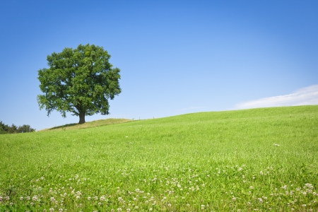 A beautiful tree in the green meadow under a blue sky photo
