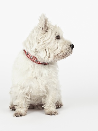 lap dog: A nice white Terrier is looking to the right side