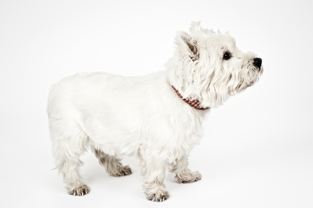 cute westie: An image of a nice white Terrier