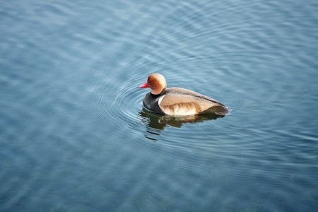 water bird: An image of a nice duck in the water