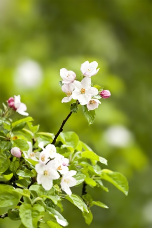 An image of a nice apple blossom photo