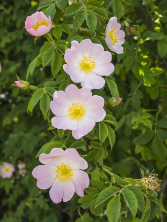 An image of some nice wild roses Stock Photo - 13936322