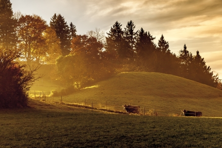 An image of a nice autumn light with two cows photo