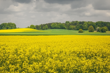 An image of a raps field in Bavaria Germany photo