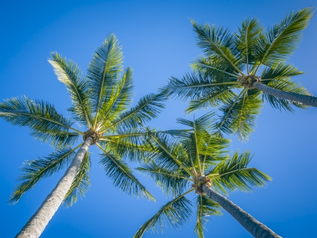 three palm trees: An image of three palm trees and the blue sky
