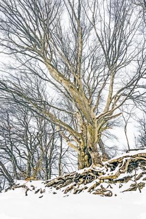 oak tree silhouette: An image of a nice winter tree