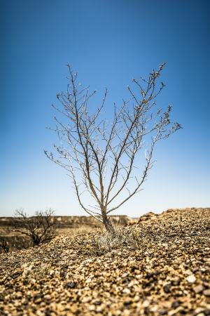A bush in the dry stone desert - Coober Pedy Australia photo