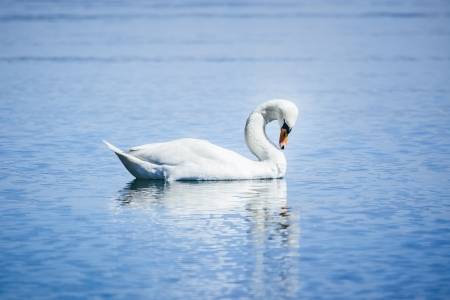 An image of a white swan at the lake Starnberg photo