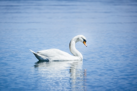 swimming swan: An image of a white swan at the lake Starnberg Stock Photo