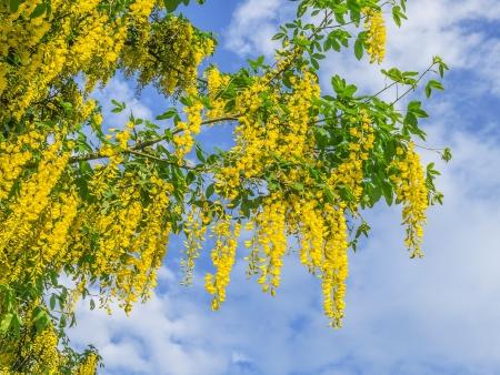 golden shower: An image of a yellow laburnum plant