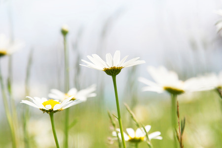 marguerites: An image of a few nice and very beautiful marguerites