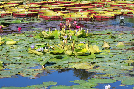 danube delta: An image of a nice and beautiful purple water lily Stock Photo