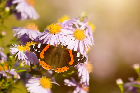pieridae: An image of a nice butterfly Vanessa atalanta Stock Photo