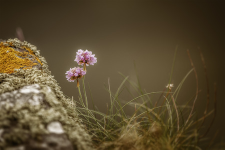 An image of a beautiful Armeria Maritima at the coast of Ireland photo