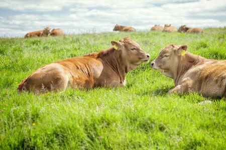An image of some nice irish cows photo