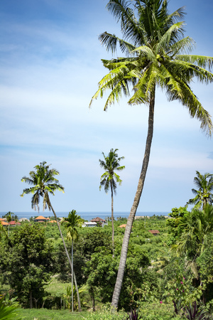 royal background: An image of palm trees in northern Bali