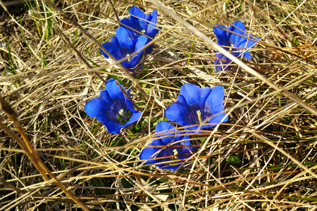 gentian flower: Some deep blue gentian hidden in the meadow