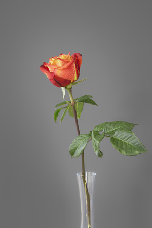 floral objects: An image of a red rose in front of a gray wall